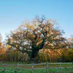 Major oak in sherwood forest where Robin Hood lived