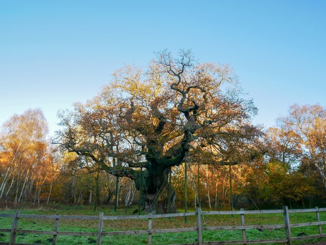 Major oak in sherwood forest where Robin Hood lived