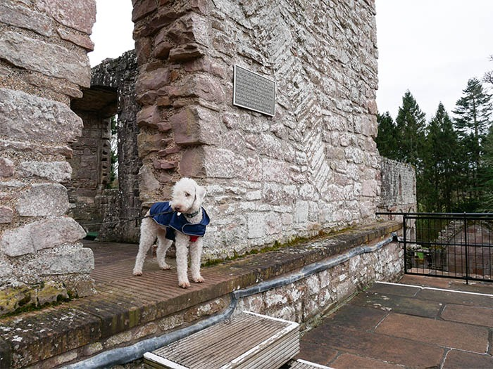 white dog at Dryburgh Abbey ruins in Scotland